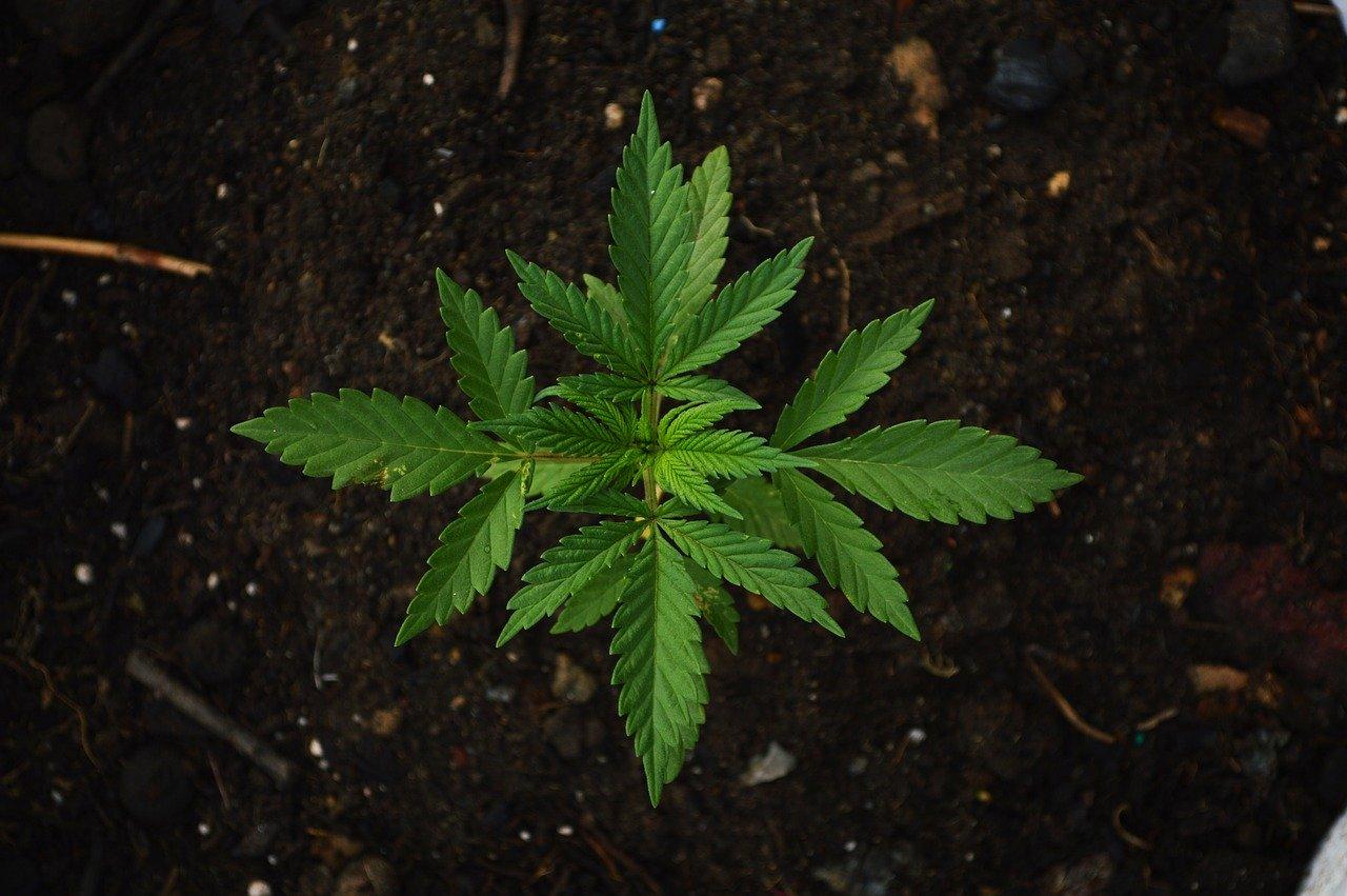 Wie viel Marihuana / Gras darf man in den Niederlanden mit sich führen?