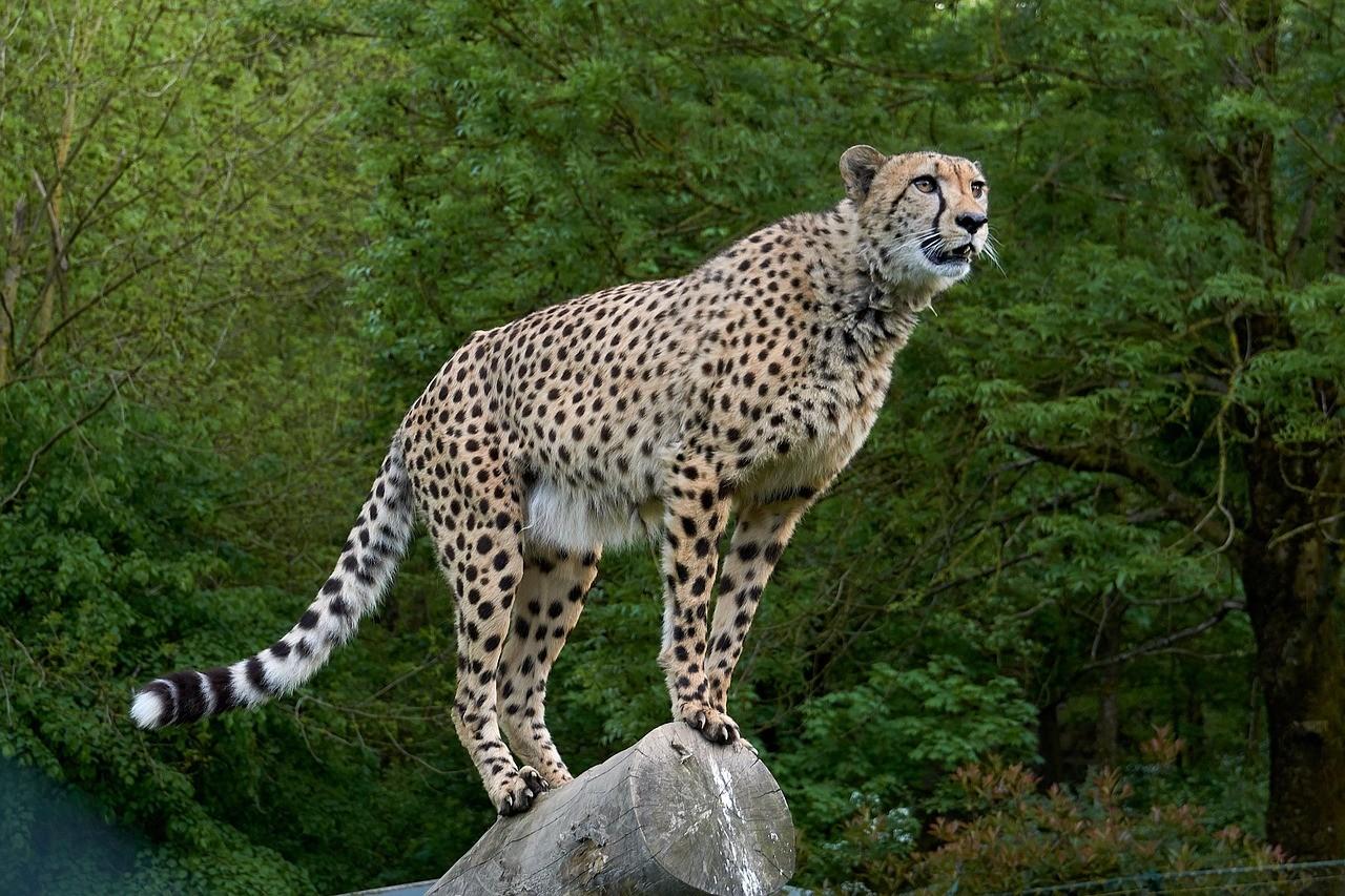 Gepard als Haustier