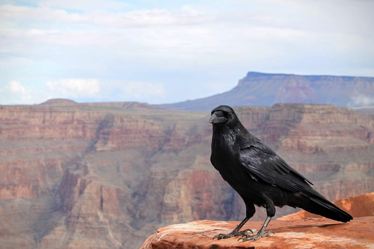 raven-1031350_1280